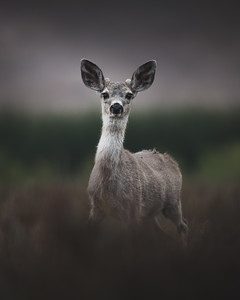 Innocent Young Fawn