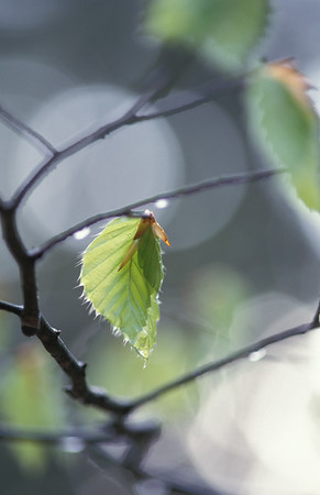 Beech leaves after spring rain