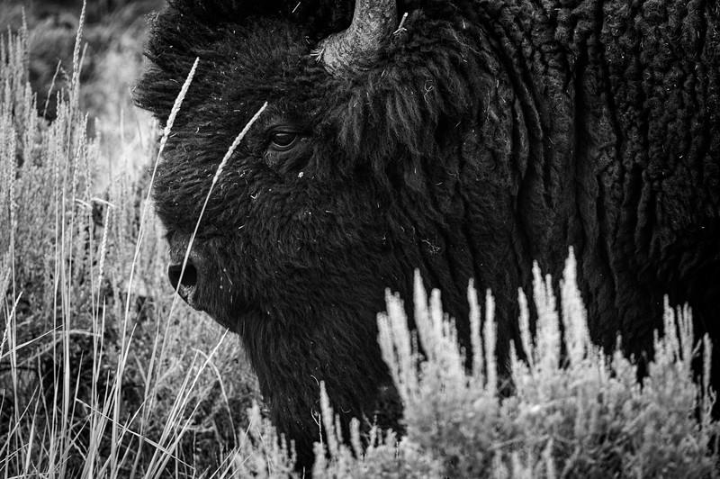 Large bison in Sagebrush, Yellowstone National park
