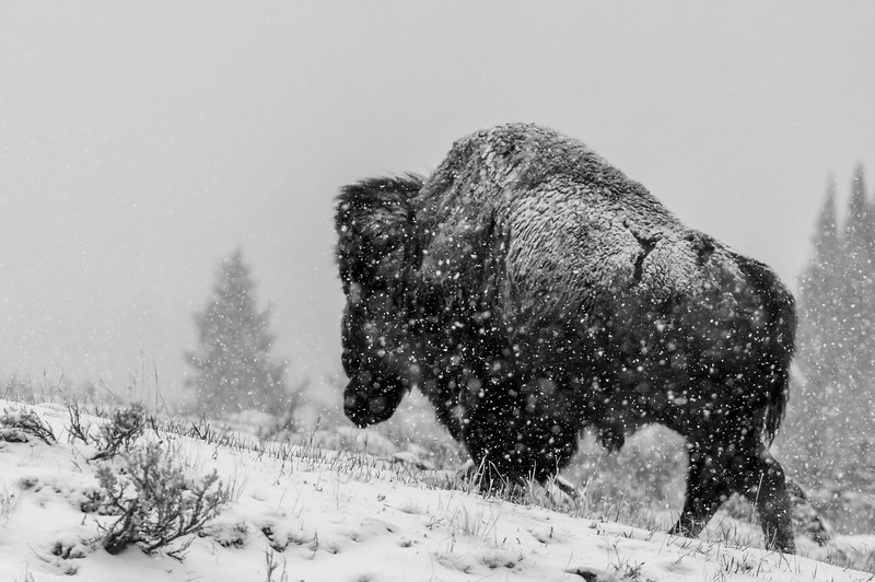 Large bison walking in the snow, Yellowstone National Park