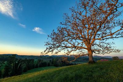 Asheville tree