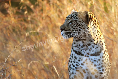 A Leopard looks out of the bush.
