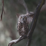 Curious Juvenile Great-Horned Owl