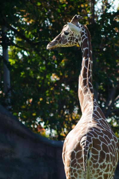 Sad Giraffe