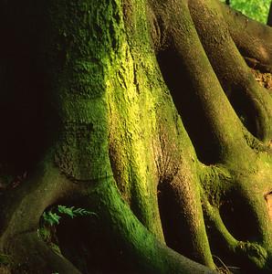Fern growing between roots