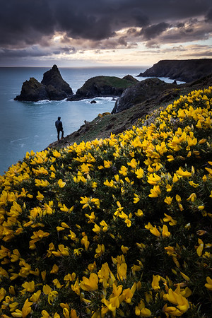 Gorse at Kynance Cove
