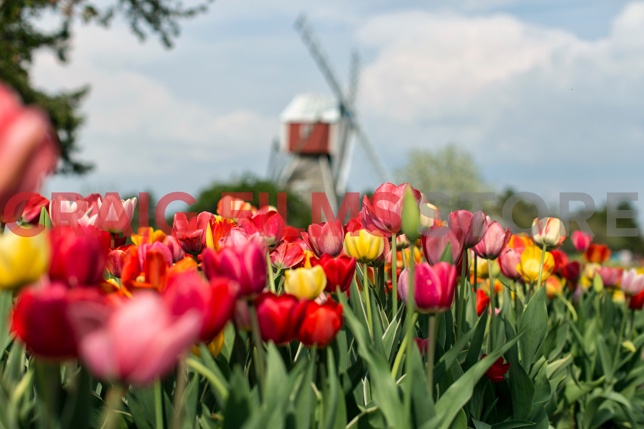"""I always loved shots of Tulip fields in Europe. So much color and symmetry in the shots I admired. <br /> <br /> In Holland, Michigan at the beginning of May the small town holds their annual Tulip Time festival.  For the first time after 30+ years of living in Michigan I traveled to see the Tulips.  <br /> <br /> The dutch heritage is prominent in this part of the state and very apparent during the festival. The whole town and surrounding communities take part in the festival, ushering in the growing season with parades, dances and more. In the Veldheer Tulips Gardens """"where the flowers bloom and the Buffalo roam"""" they plant over 5 million tulips for your enjoyment."""