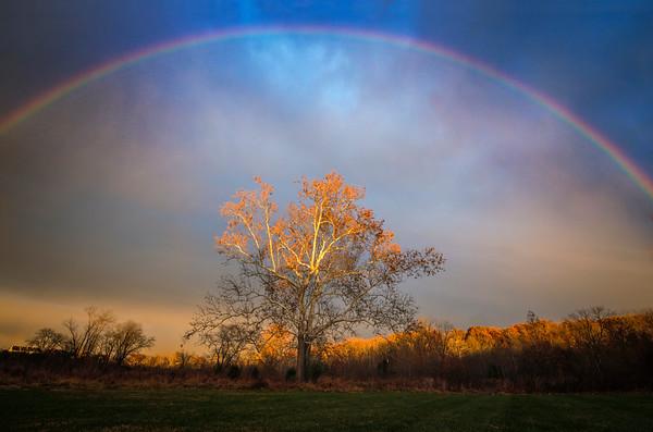 Fall Sycamore Rainbow