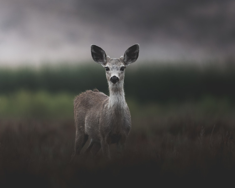 Curious Young Fawn