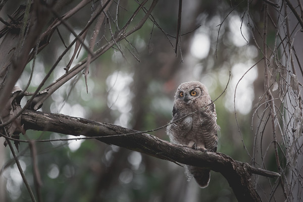 Baby Great-Horned Owlet on a Perch