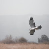 Northern Harrier Makes a Catch