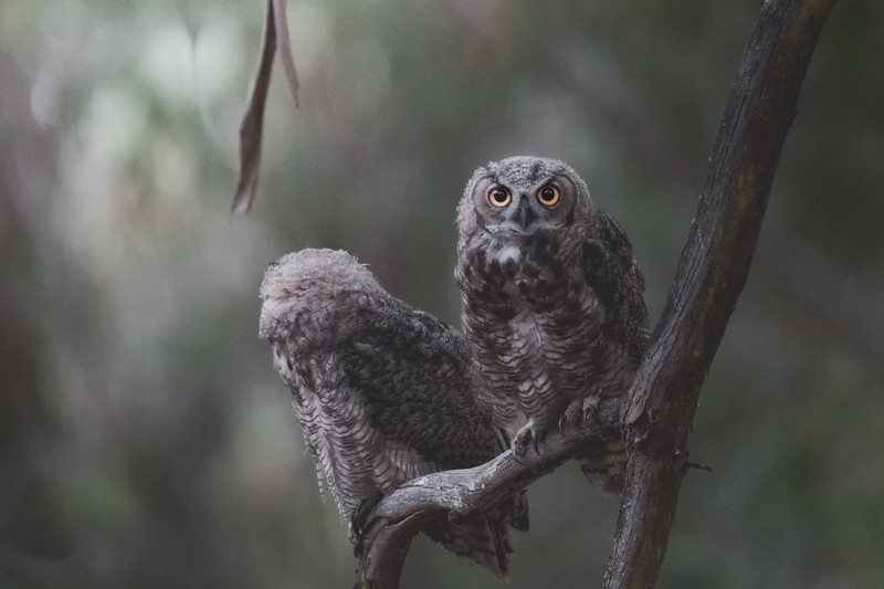 Young Great-Horned Owls