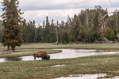 Bison next to Yellowstone River