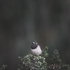 The Dark-Eyed Junco