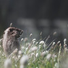 Marmot in a Bed of Flowers
