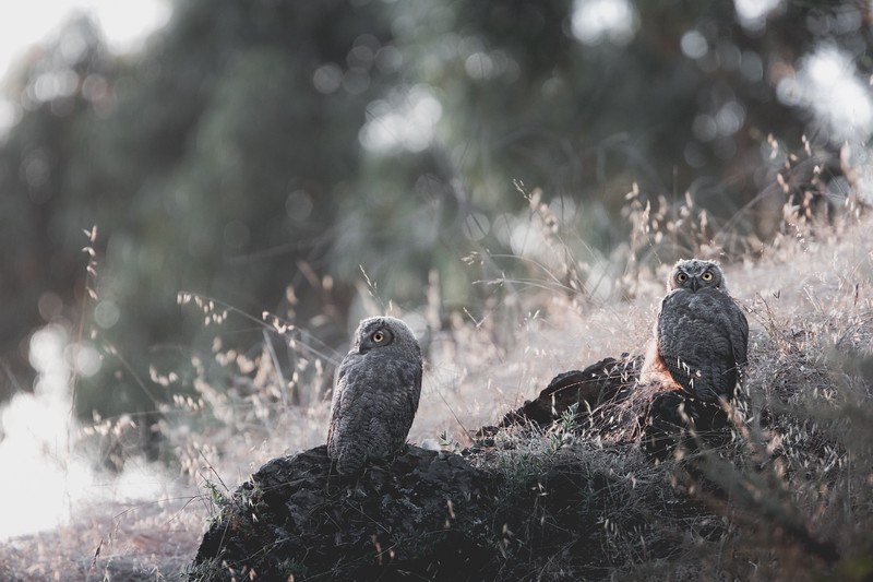 Two Young Great-Horned Owls