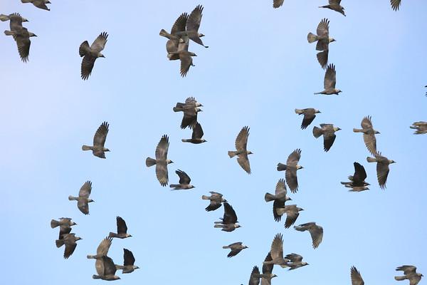 Kajor - A flock of flying Jackdaws