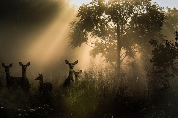 Deer Family in Meadow