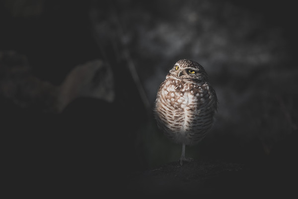 Owl in Moon Light