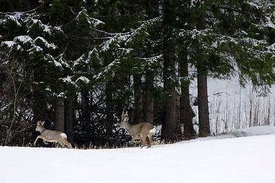 Running roe bucks  Rådjur