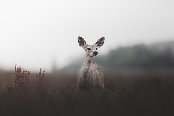 Fawn Wandering Through a Meadow