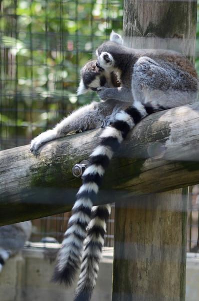 Lemur Lovin'