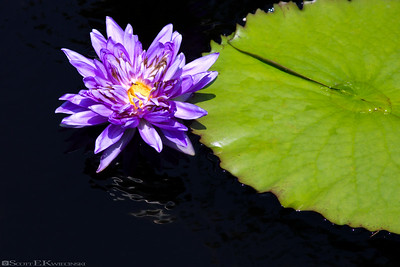 "Tropical Day-flowering Waterlily - ""King of Siam"""
