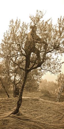 Olive Ninja, Tuscany, Italy