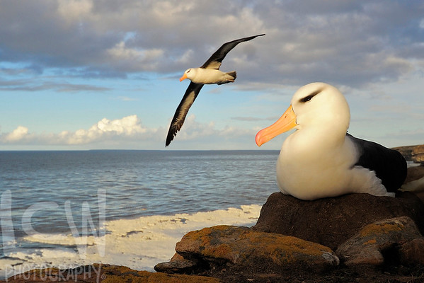 11-29536, Black-browed Albatross