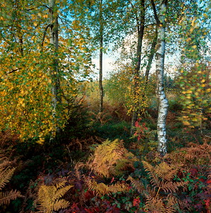 Autumn forest with birches and fern