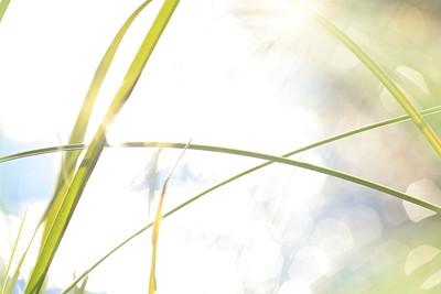 Gräs och en skimrande sjö -  Blade of grass and sun reflections