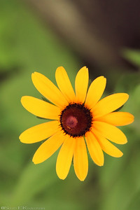 Black Eyed Susan 2011