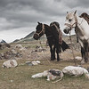 Two Horses Standing in the Altai Tavan Bogd