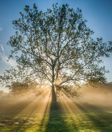 Sycamore Tree at sunrise