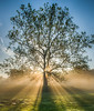 Sycamore Tree at sunrise