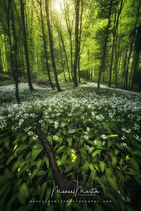 Glowing Wild Garlic Field