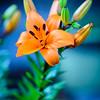 Orange Star Lily