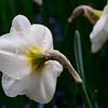 Daffodils with Raindrops