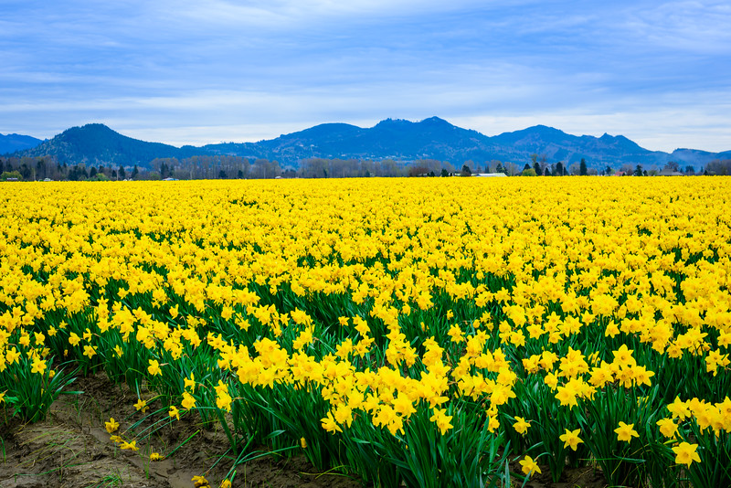 Daff-o-dil Fields Forever