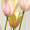 Translucent Tulips