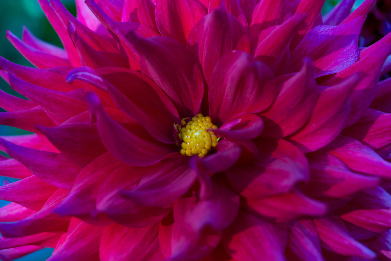 A Welcoming Dahlia