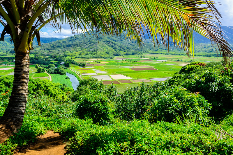 Hanalei Wetlands Under Palm