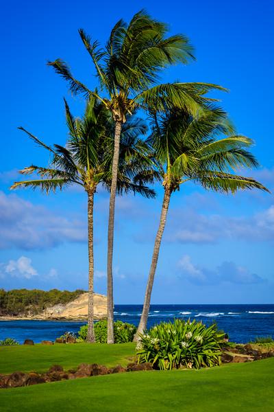 Palm Trees at Poʻipū