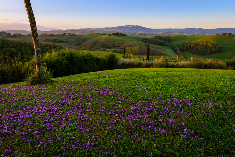 Saffron Petals at Sunrise on the Hills of Tuscany