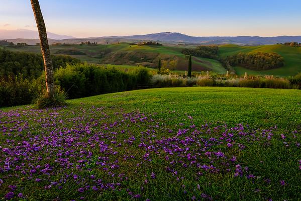 Saffron petals on a Tuscan hillside at dawn