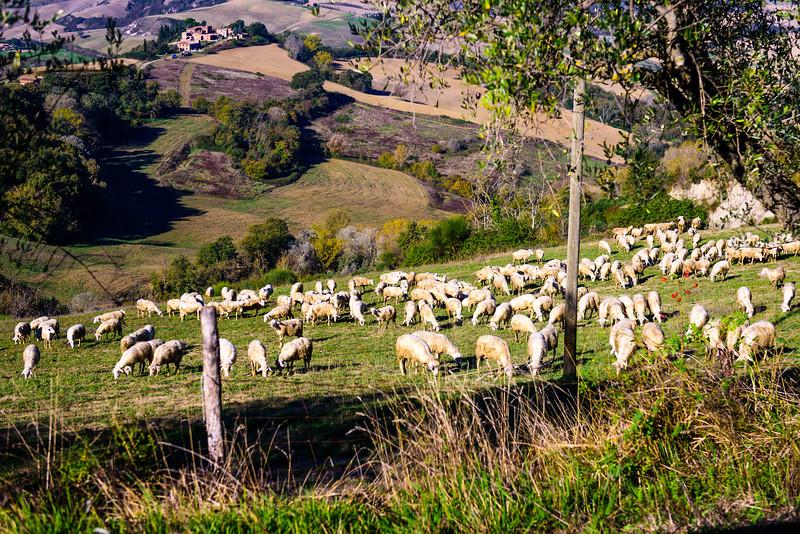 Sheep on a Tuscan Hillside