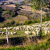 Sheep on a Tuscan Hillside