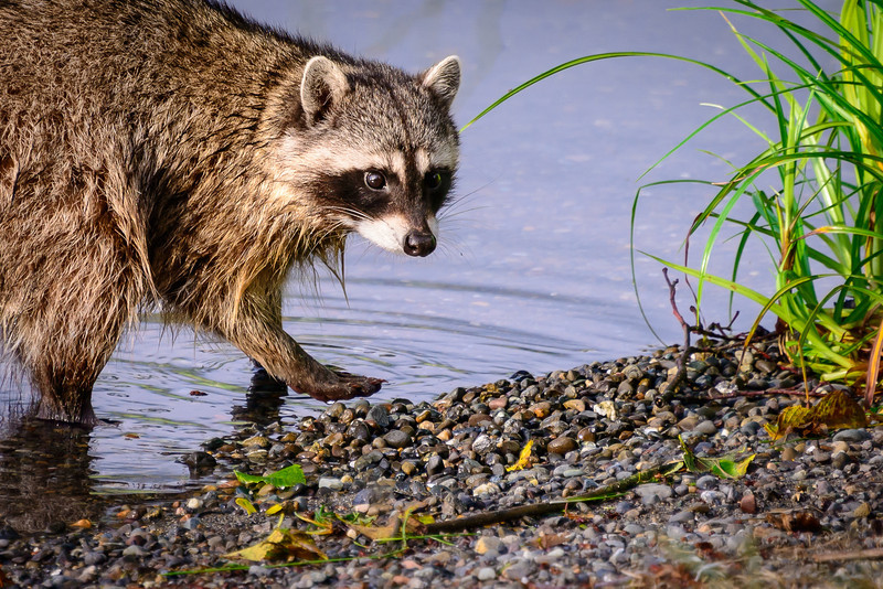 Inquisitive Raccoon