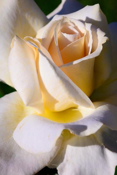 White Rose at Sunset