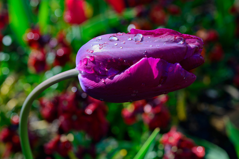 Purple, with Raindrops